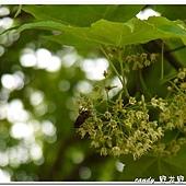 (槭樹科)青楓的花