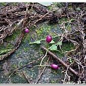 (桔梗科)普拉特草