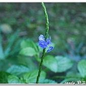 (馬鞭草科)紫花長穗木