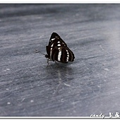 (蛺蝶科)台灣小灰蛺蝶