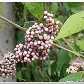 (馬鞭草科)杜虹花的果實