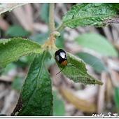 (金花蟲科)橫紋寡毛葉蚤
