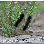 (燈蛾科)紅緣燈蛾,幼蟲
