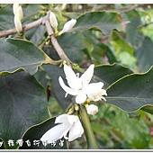 (茜草科)咖啡樹的花