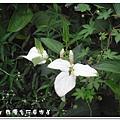 (三白草科)三白草