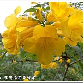 (紫葳科)黃鐘花