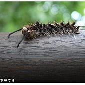 (毒蛾科)毒蛾幼蟲