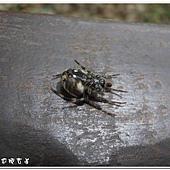 (皿蛛科)褐色蓋皿蛛