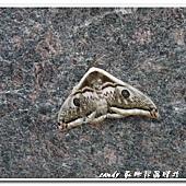 (天蠶蛾科)四黑目天蠶蛾,大型,翅面灰白色具黑色或黑褐色分布,前後翅各有一枚大型的眼紋,眼紋黑色,前翅中央具鋸齒狀線紋。本屬4種,本種與近似種相較,體色較黑。
