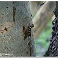 (夜蛾科)長斑擬燈蛾幼蟲