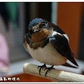 (燕科)燕子學名家燕