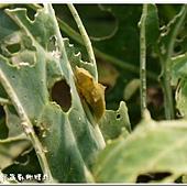 (粉蝶科)紋白蝶蛹