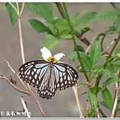 (蛺蝶科) 青斑蝶