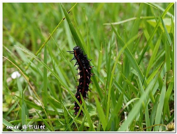 58-黑端豹斑蝶幼蟲