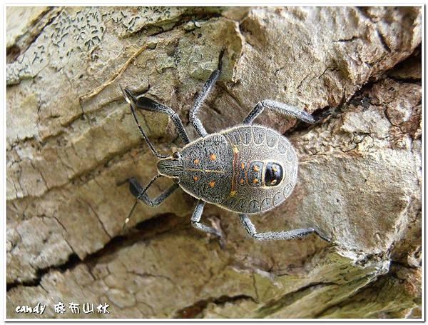 (椿象科)黃斑椿象若蟲