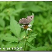 (蛺蝶科)台灣波紋蛇目蝶