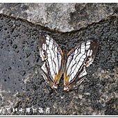 (蛺蝶科)石牆蝶