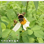 (食蚜蠅科)黃道蚜蠅