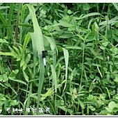 (蜻蜓科)鼎脈蜻蜓,雄