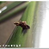 (蓑蛾科)蓑蛾幼蟲