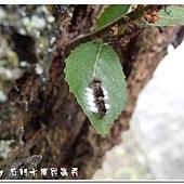 (姬蜂科)小繭蜂