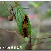 (斑蛾科)臺灣茶斑蛾,幼蟲