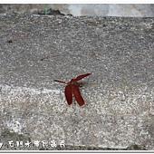 (蜻蜓科)善變蜻蜓