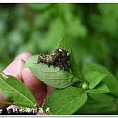 (夜蛾科)金翅夜蛾,幼蟲