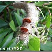 (枯葉蛾科)大灰枯葉蛾, 終齡幼蟲