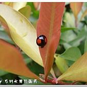 (瓢蟲科)赤星瓢蟲