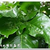 蟲癭-造癭昆蟲:木蝨科,癭(gall)是指植物組織受到昆蟲或其他生物刺激而產生的變異或擴增現象,由昆蟲所引起的癭叫做「蟲癭」,可以產生蟲癭的昆蟲叫做「造癭昆蟲」,產生蟲癭的植物叫做「成癭植物」。會造癭的昆蟲常見的有雙翅目的癭蚋、果實蠅,同翅目的木蝨、蚜蟲、介殼蟲,鱗翅目的捲葉蛾、透翅蛾,膜翅目的癭蜂、葉蜂,半翅目的網椿、纓翅目的薊馬及少數鞘翅目的天牛、象鼻蟲等。除了昆蟲會造癭外,其它尚有某些真菌、細菌、蜱、蟎等也會造癭。成癭植物產生癭後會於葉片、枝條、花朵等部位出現各式各樣的突變癭造型及色彩,極具生態研究及觀賞。