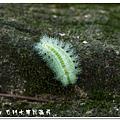 (刺蛾科)褐邊綠刺蛾