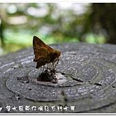 (弄蝶科)竹紅弄蝶