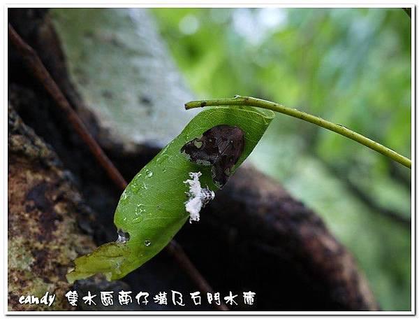 25-八點廣翅蠟蟬,羽化後的若蟲體殼