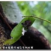 (廣翅蠟蟬科)八點廣翅蠟蟬,羽化後的若蟲體殼