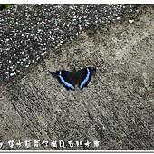 (蛺蝶科)琉璃蛺蝶
