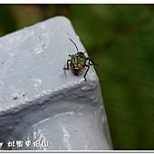 (盾椿科)黃盾背椿象(若蟲