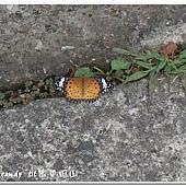 (蛺蝶科)黑端豹斑蝶,雌蝶前翅面端部黑色內具白色斜紋