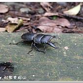 (鍬形蟲科)台灣大鍬形蟲(雄)