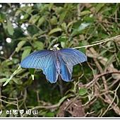 (鳳蝶科)黑鳳蝶