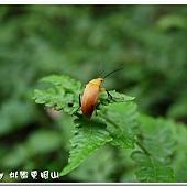 (擬步行蟲科)三角緣腹朽木甲