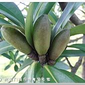 (山茶科)大頭茶種子