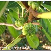 (桑科)稜果榕