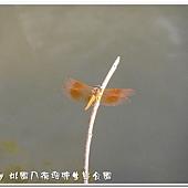 (蜻蜓科)褐斑蜻蜓