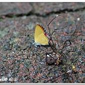 (小灰蝶科) 紅邊黃小灰蝶