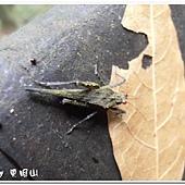 (菱蝗科)蓬萊棘菱蝗