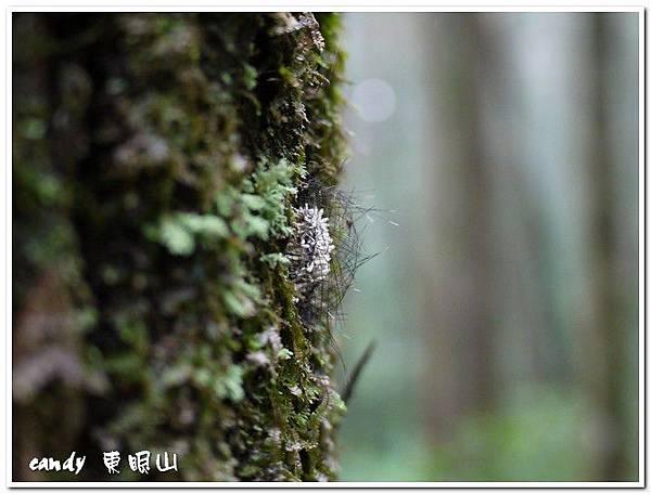 56-苔蛾的薄繭