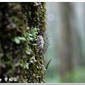 (燈蛾科)苔蛾的薄繭
