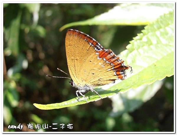 7-紅邊黃小灰蝶