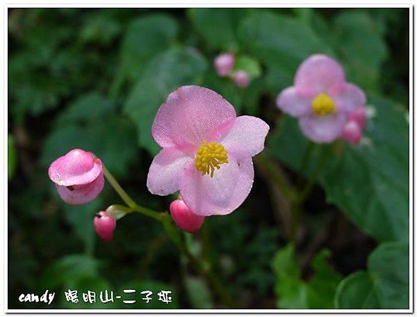3-(秋海棠科)秋海棠